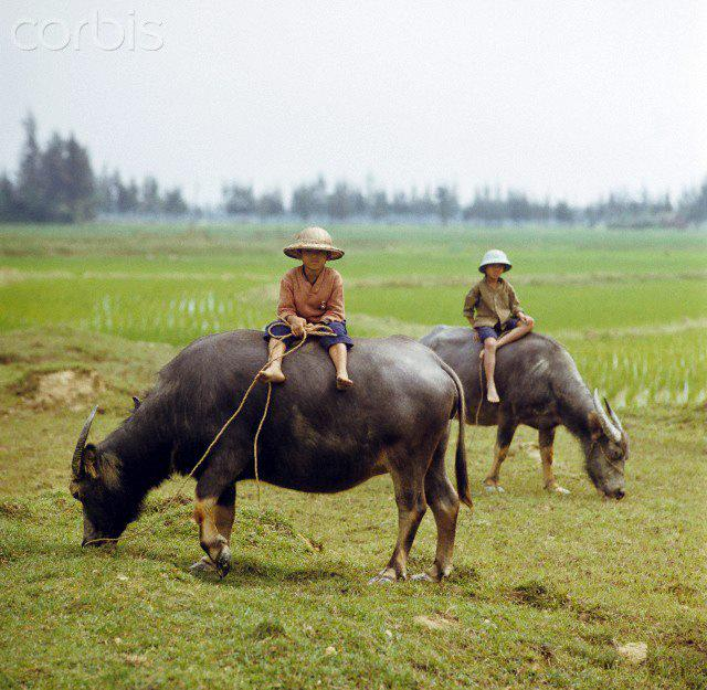01 Mar 1973, Vinh, Vietnam --- Two young Vietnamese people sit on two water buffalos at the side of a rice field next to Street Number 1 in North Vietnam, photographed in March 1973 near Vinh. Street Number 1, built by the French, as main connection line to South Vietnam with more than 1,500 kilometres lenght was a strategic target in Vietnam War, The United States of America flew about 2,000 air attacks on cities and targets in North Vietnam during the