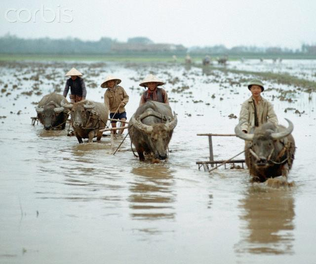 "01 Mar 1973, Vietnam --- Vietnamese farmers plough the rice fields with water buffalos next to Street Number 1 in North Vietnam, photographed in March 1973 near Dong Hoi at the 17th degree of latitude. Only a few weeks before, the peace agreement was signed on the 27th of January in 1973 in Paris and the war against North Vietnam ended. The United States of America flew about 2,000 air attacks on cities and targets in North Vietnam during the ""Christmas bombings"" in 1972. Photo: Werner Schulze 