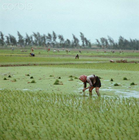 """01 Mar 1973, Vietnam --- A Vietnamese woman with a headscarf plants rice on a field in the province Nam Ha in North Vietnam, photographed in March 1973. Only a few weeks before, the peace agreement was signed on the 27th of January in 1973 in Paris and the war against North Vietnam ended. The United States of America flew about 2,000 air attacks on cities and targets in North Vietnam during the """"Christmas bombings"""" in 1972. Photo: Werner Schulze 
